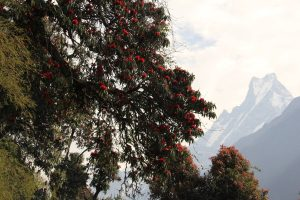 Rododendrony s pozadim Tailfish