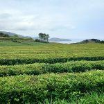 Azorske ostrovy Gorreana
