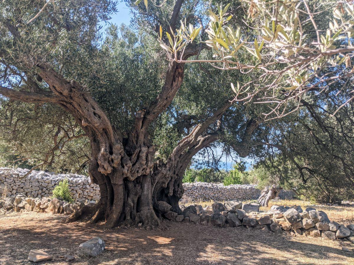 Chorbátsko - Pag - Olive tree gardens